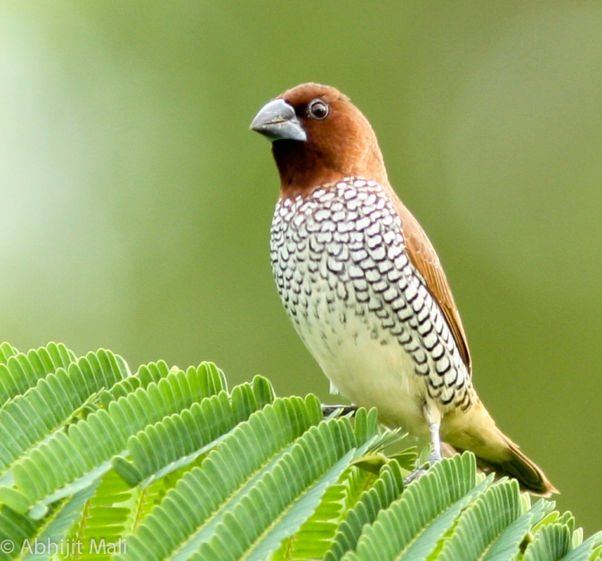 Spotted or Scaly Breasted Munia