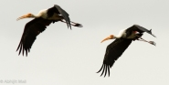 Painted Storks