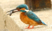 Common Kingfisher feasting on fish.