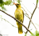 Golden Oriole (Male) (Immature)