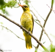 Golden Oriole (Male) (Immature)