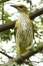 Golden Oriole (Female) (Immature)