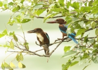 White Throated Kingfisher Pair