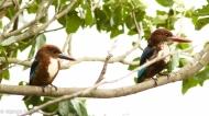 White Throated Kingfisher Pair
