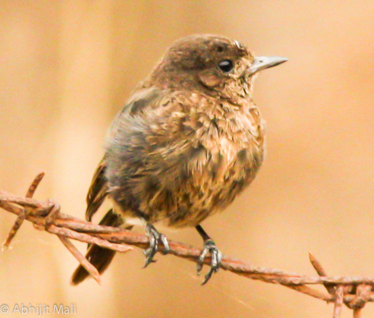Juvenile Pied Bush chat (Female)