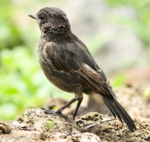 Pied Bush chat (Female)