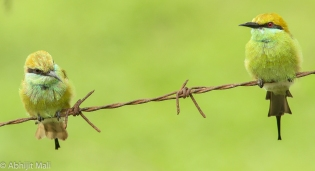 Green Bee Eater Pair