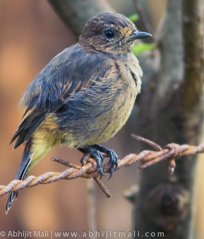 Juvenile Pied Bush chat (Female)