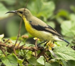 Purple Sunbird (Eclipse Plumage)