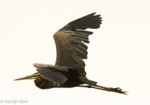 Purple Heron