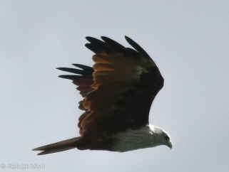 Bramhiny Kite