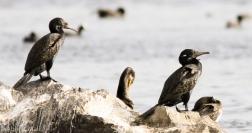The Indian Cormorant