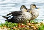 Spot Billed Ducks