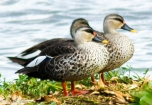 Spot Billed Ducks