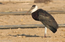 Wooly Necked Stork checking out.