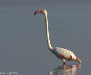 Flamingo standing alone.