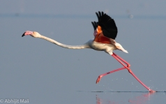 Flamingo running to fly away.