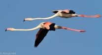 Flamingo pair in flight