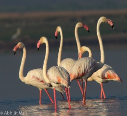 Flamingos standing in order of their height.