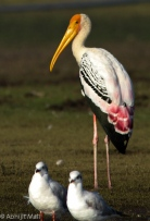 Painted Stork sunbath