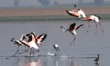 Flamingo Flock Landing Scene 1