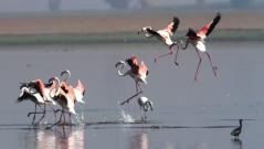 Flamingo Flock Landing Scene 2