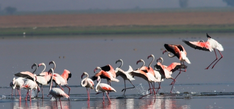 Flamingo Flock Landing Scene 3