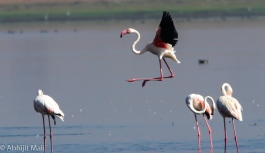 Solitary Flamingo landing scene.