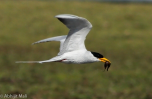 Indian River Tern with catch.